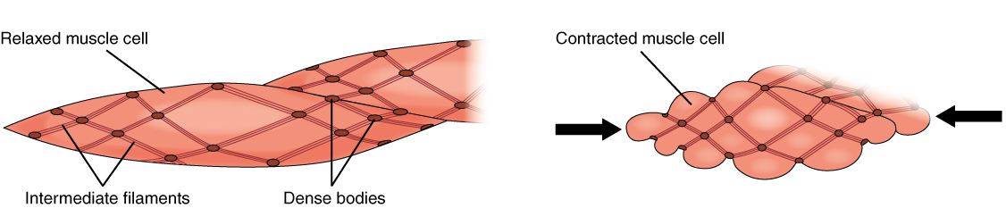 1028 Smooth Muscle Contraction.jpg