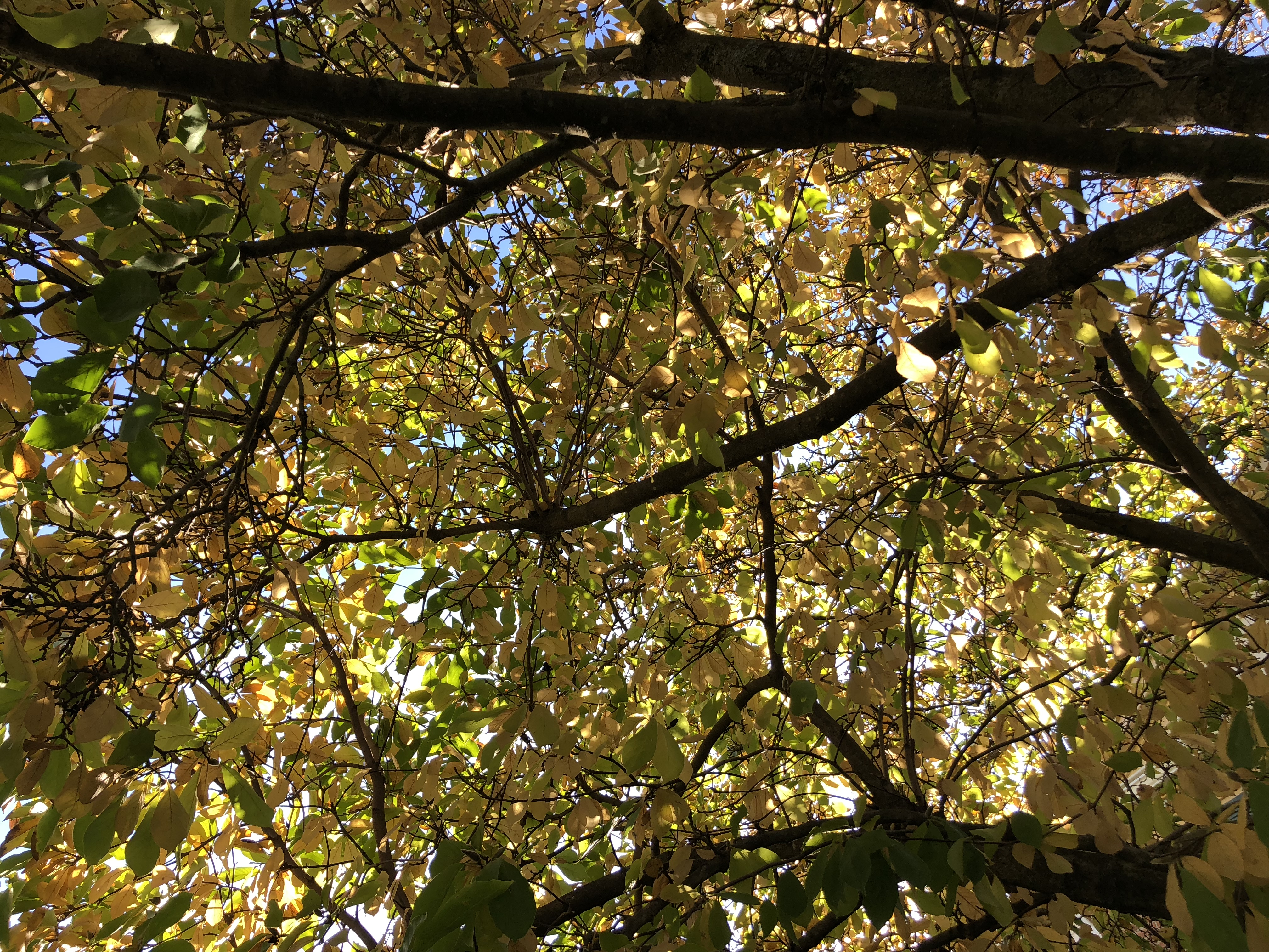 File 2019 11 04 13 58 11 View Up Into The Canopy Of A Saucer Magnolia In Late Autumn Along Higgs Court In The Franklin Farm Section Of Oak Hill Fairfax County Virginia Jpg Wikimedia Commons