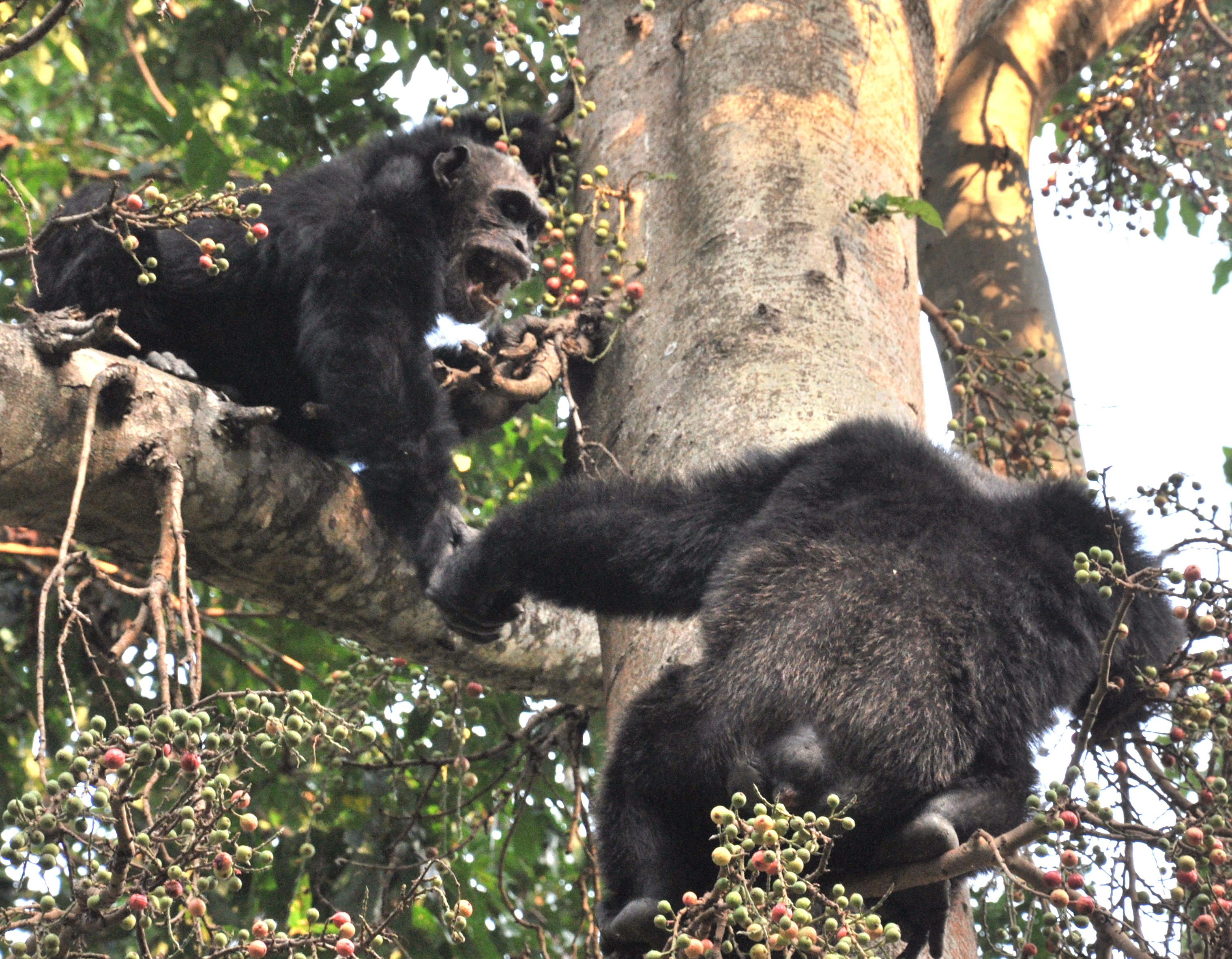 File:Adult male chimps in mahale.jpg