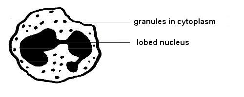 Anatomy and physiology of animals A granulocyte.jpg