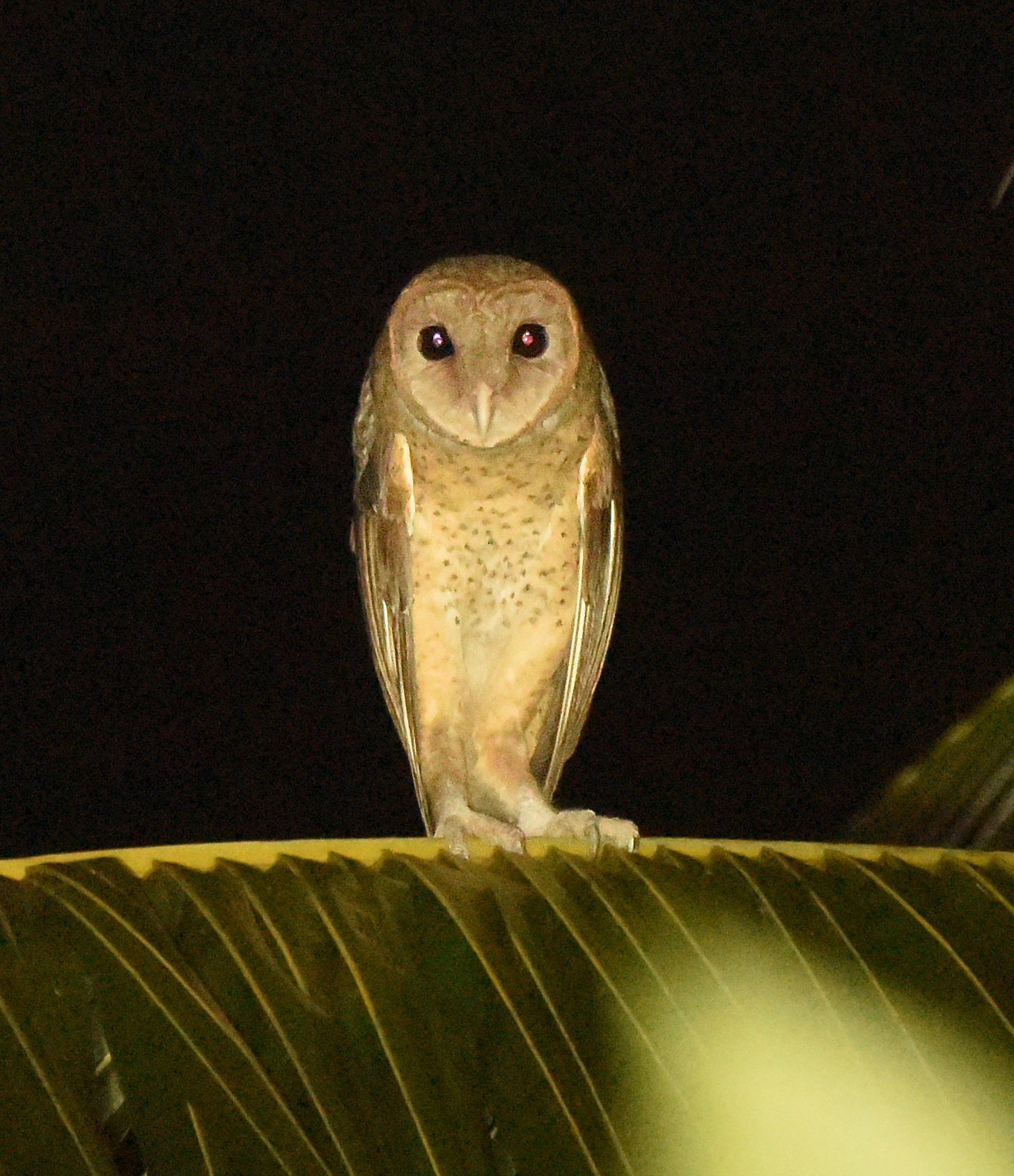 https://upload.wikimedia.org/wikipedia/commons/5/54/Andaman_Masked_Owl_SS.jpg