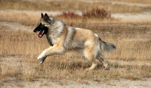 http://upload.wikimedia.org/wikipedia/commons/5/54/Belgian_Shepherd_Tervuren_running.jpg