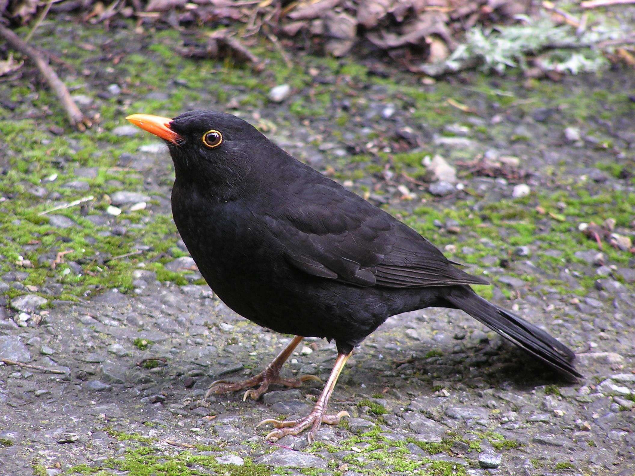 Blackbird (male).jpg