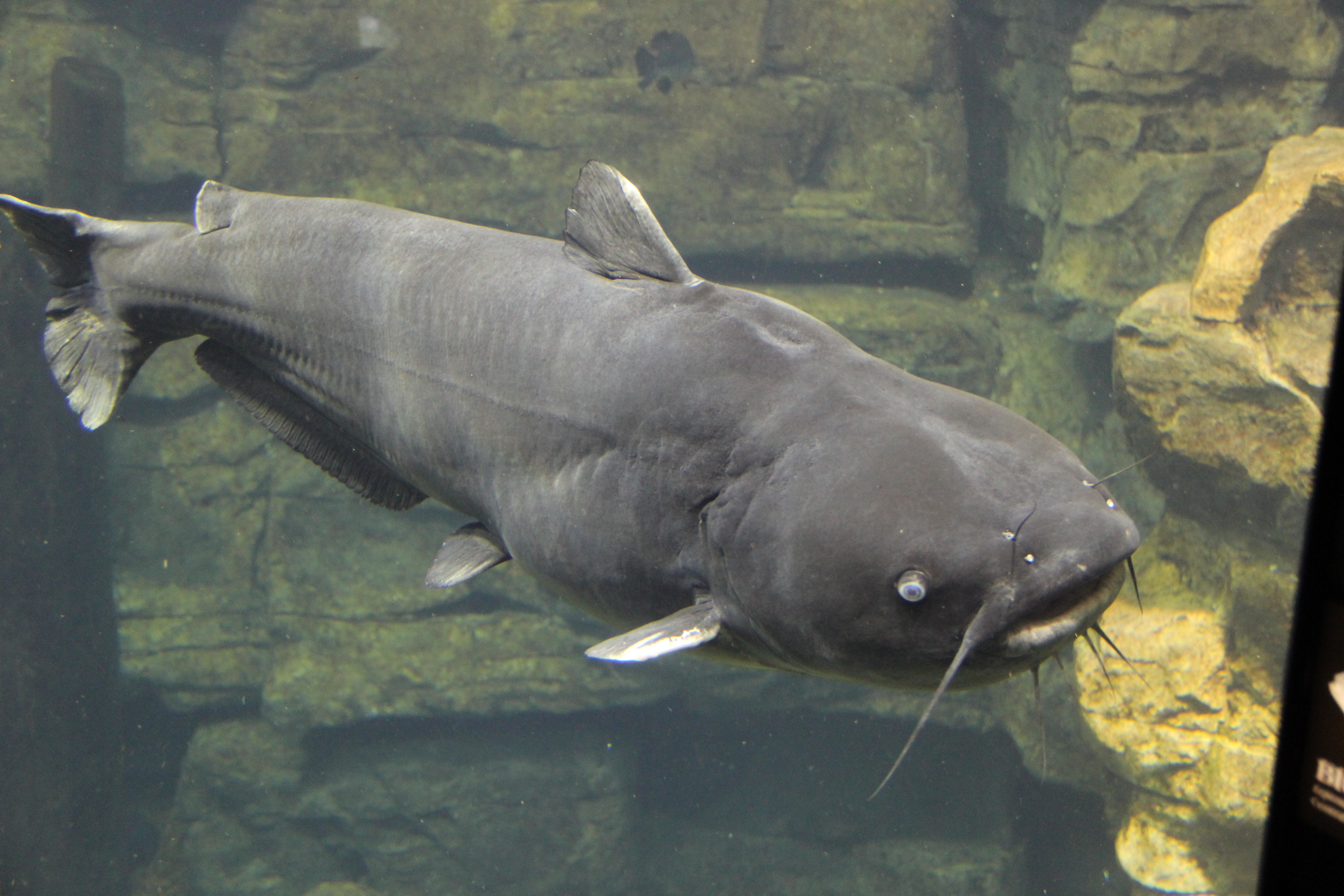 file blue catfish tenn aquarium jpg wikipedia