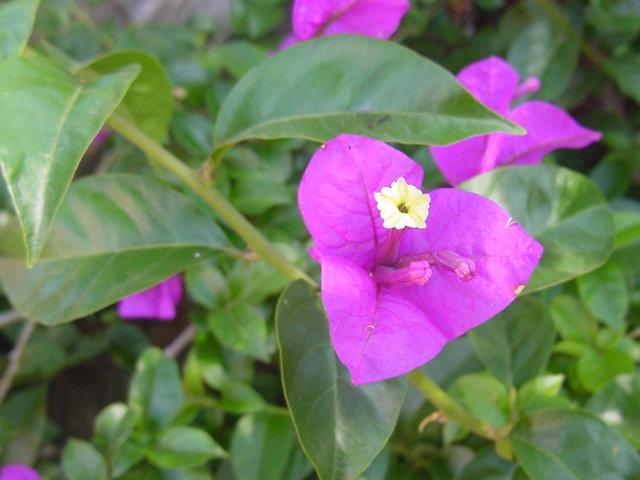 Pokok Bunga Kertas Wikipedia Bahasa Melayu Ensiklopedia Bebas