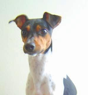 Fichier:Brazilian terrier.JPG