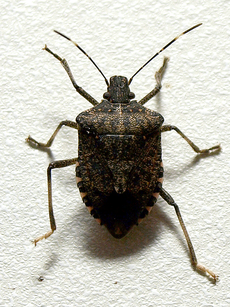 brown marmorated stink bug The brown marmorated stink bug has been marching westward across the united  states for decades it was first spotted in minnesota in 2010.