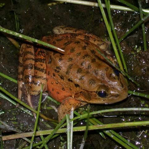 Image result for california red legged frog