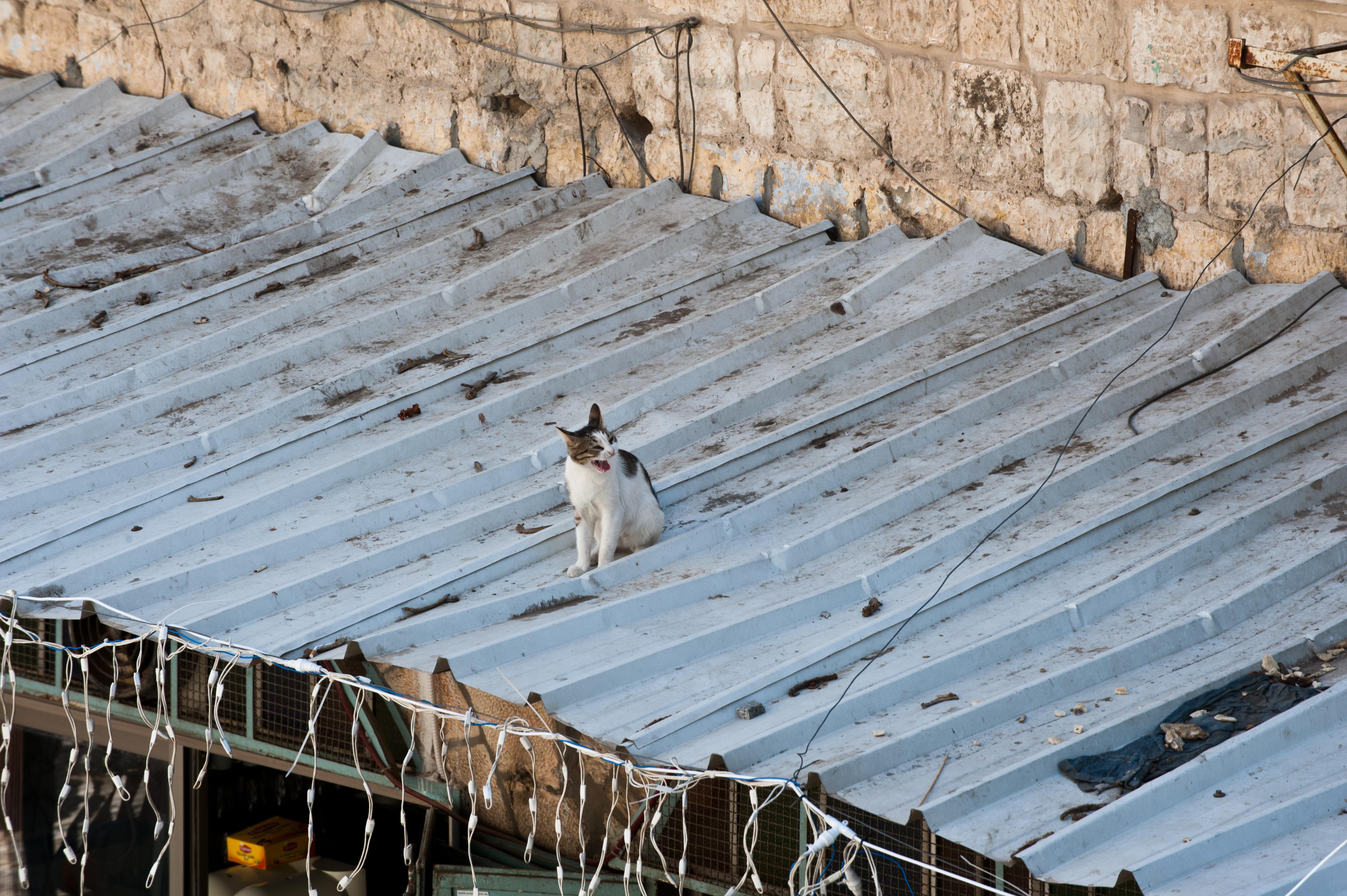 FileCat on a Hot Tin Roof, Jerusalem.jpg   Wikimedia Commons