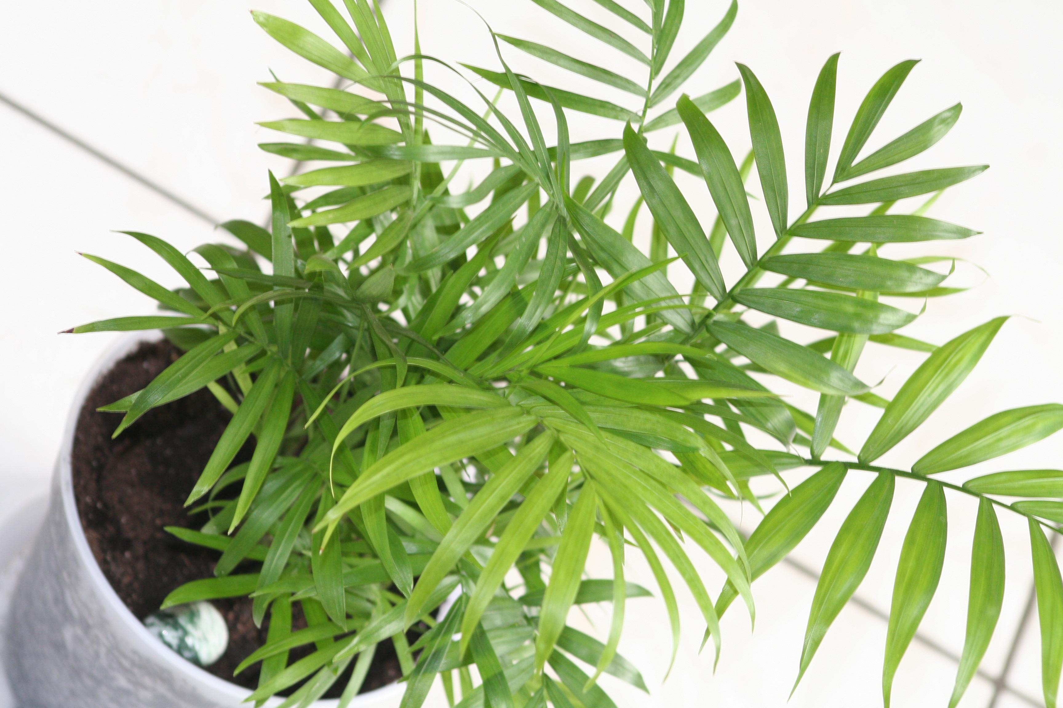 La chamaedorea elegans o palmera de interior - Planta interior palmera ...