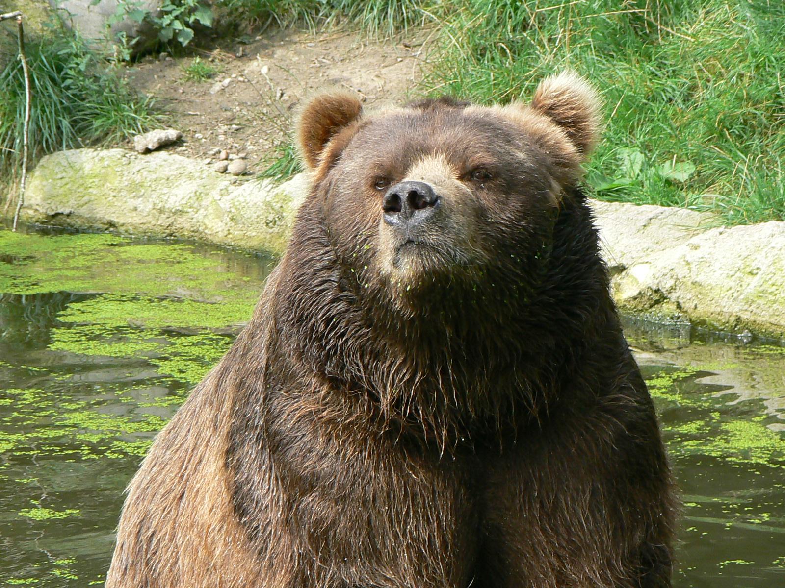 слева медведь кадьяк картинка годик исполняется жена