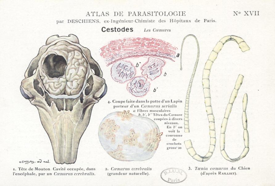 ce tipuri de viermi sunt în rabie