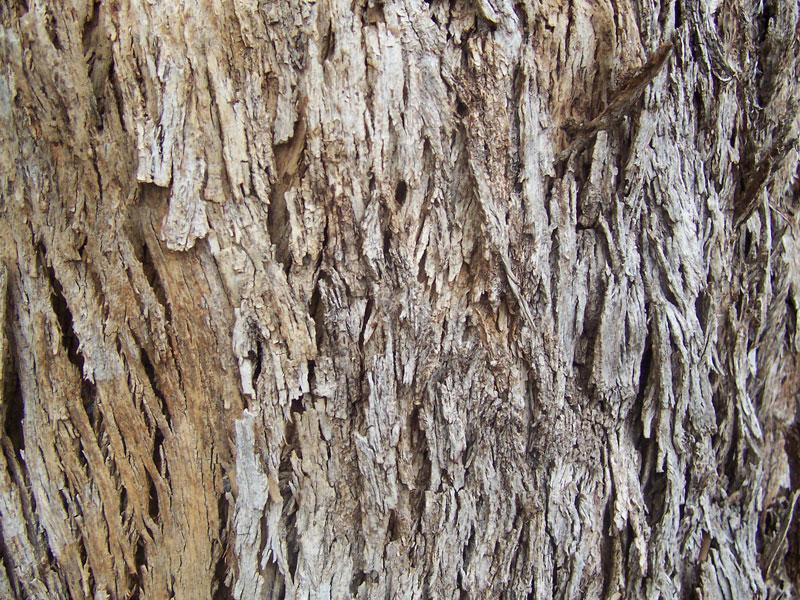 File:Eucalyptus bark.jpg - Wikimedia Commons