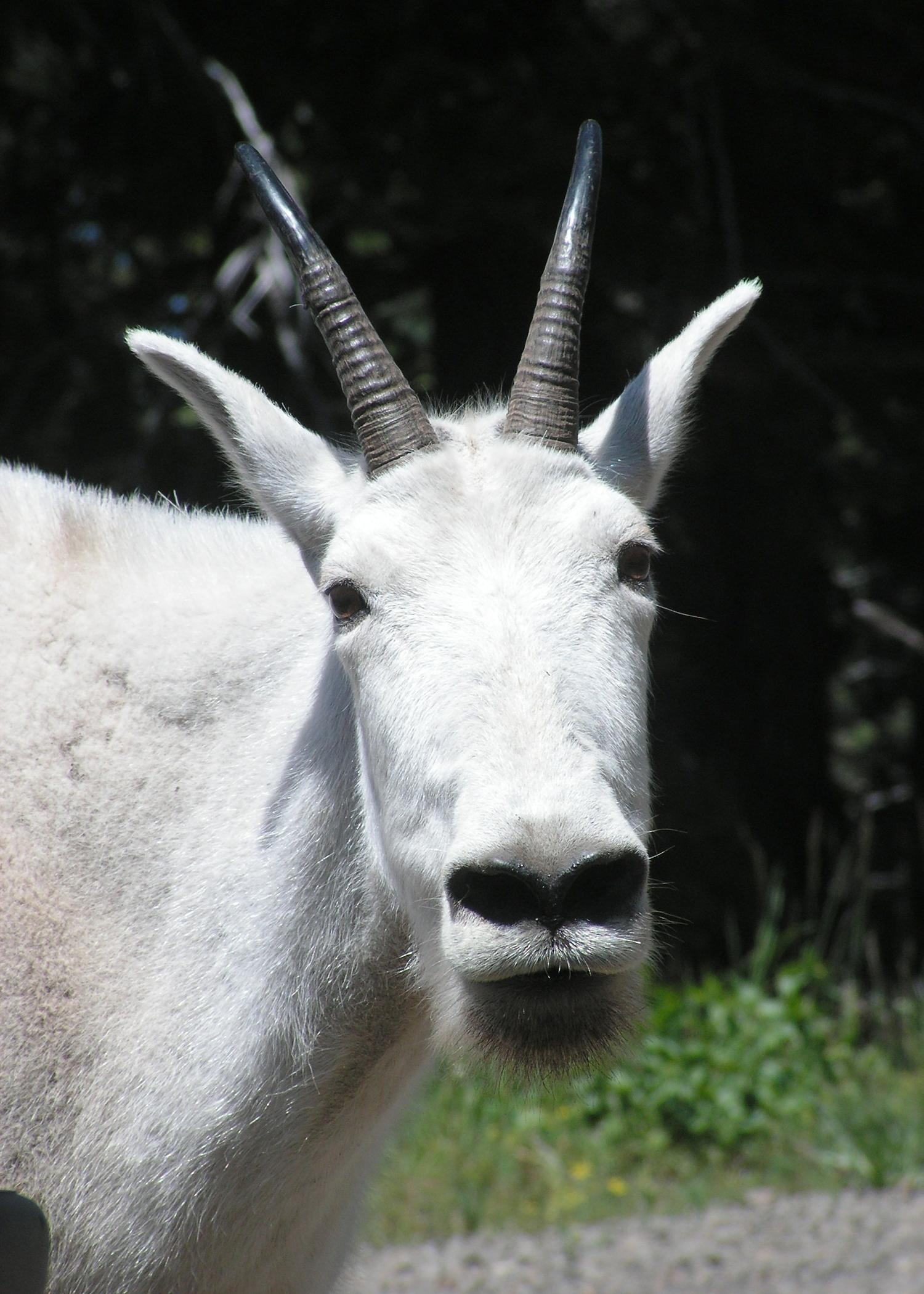R Goats Mountain goat  ...