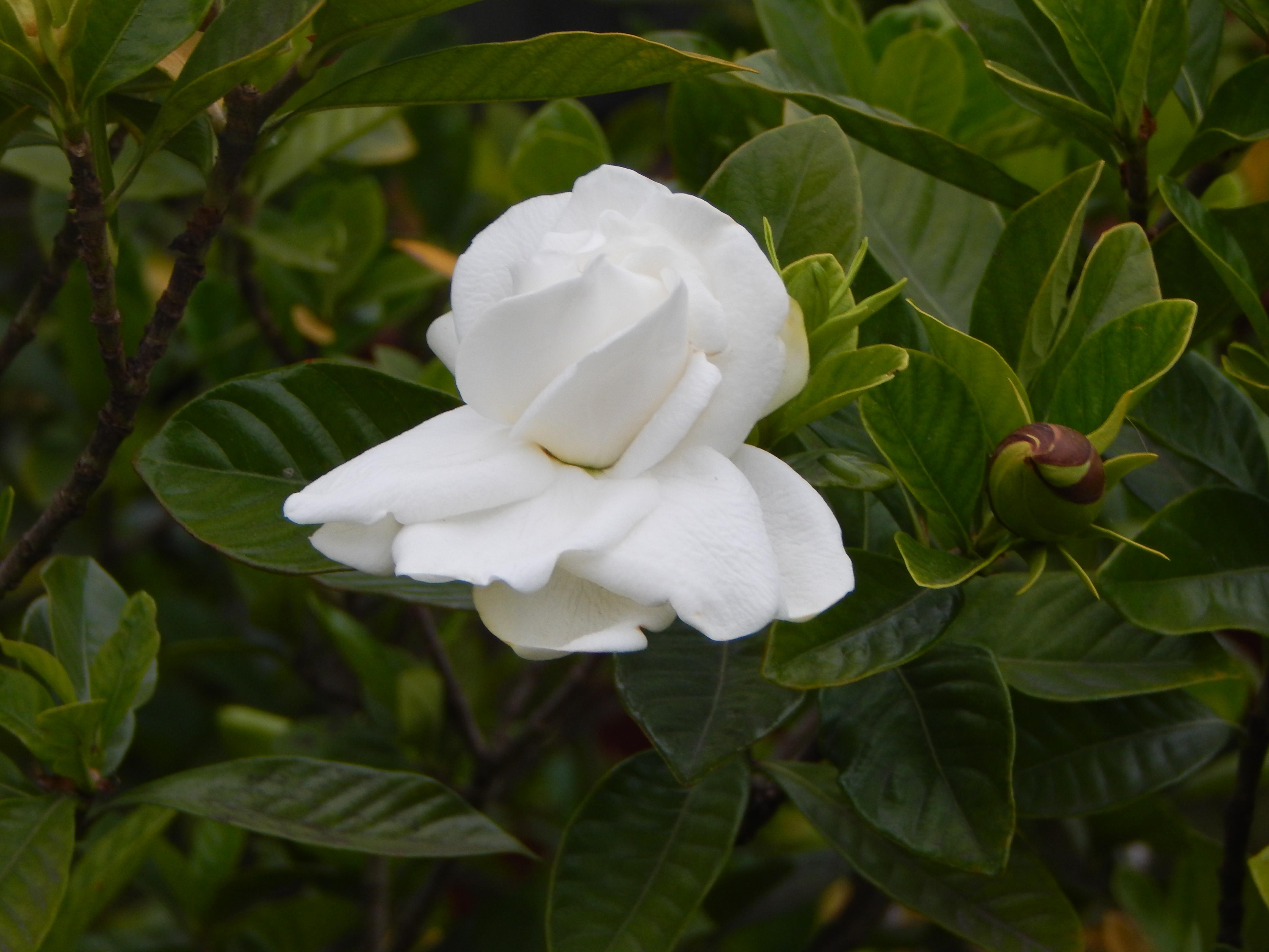 Gardenia jasminoides , Wikipedia