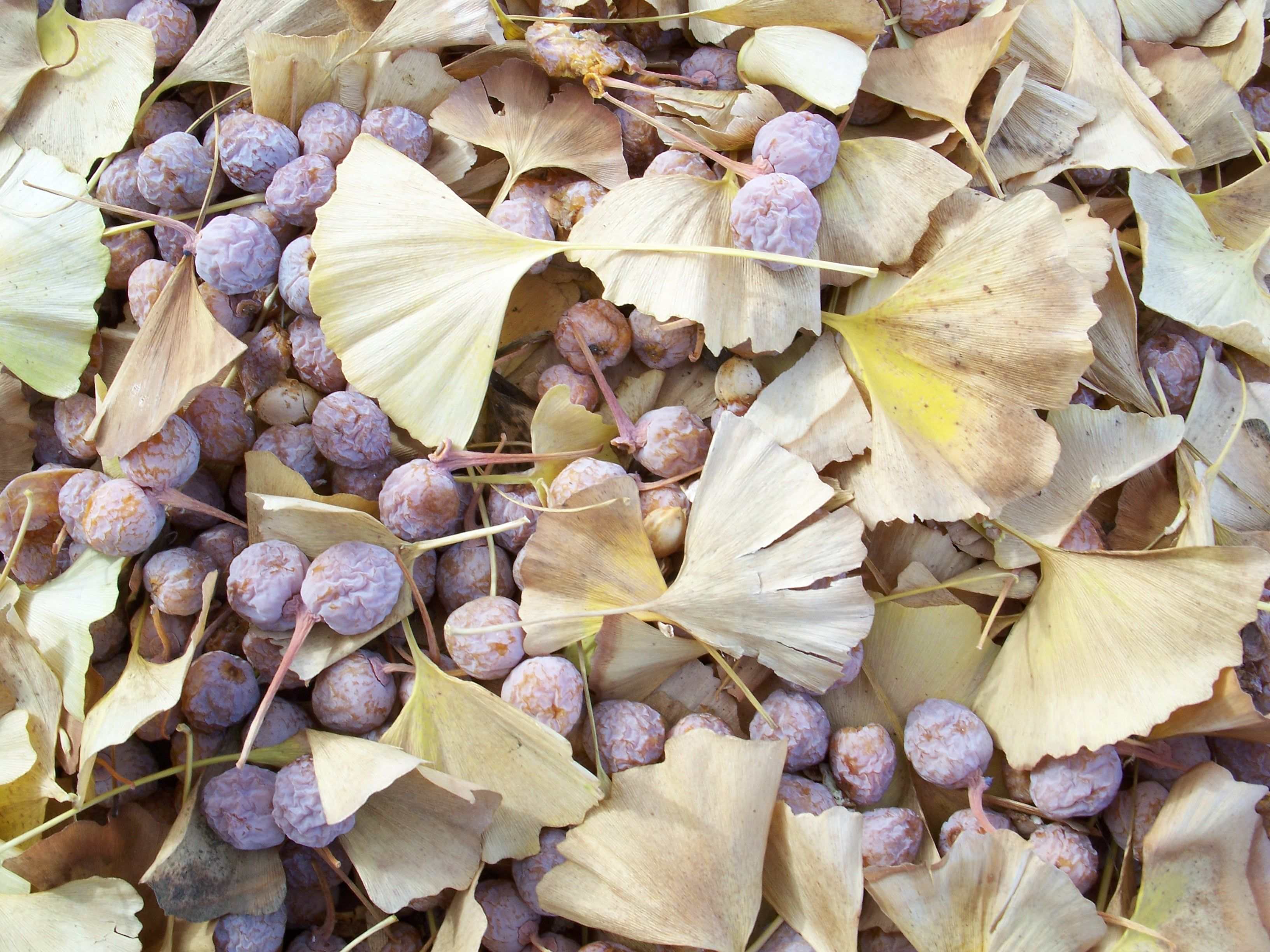 File Ginkgo Biloba Leaves And Seeds 1 Jpg Wikimedia Commons