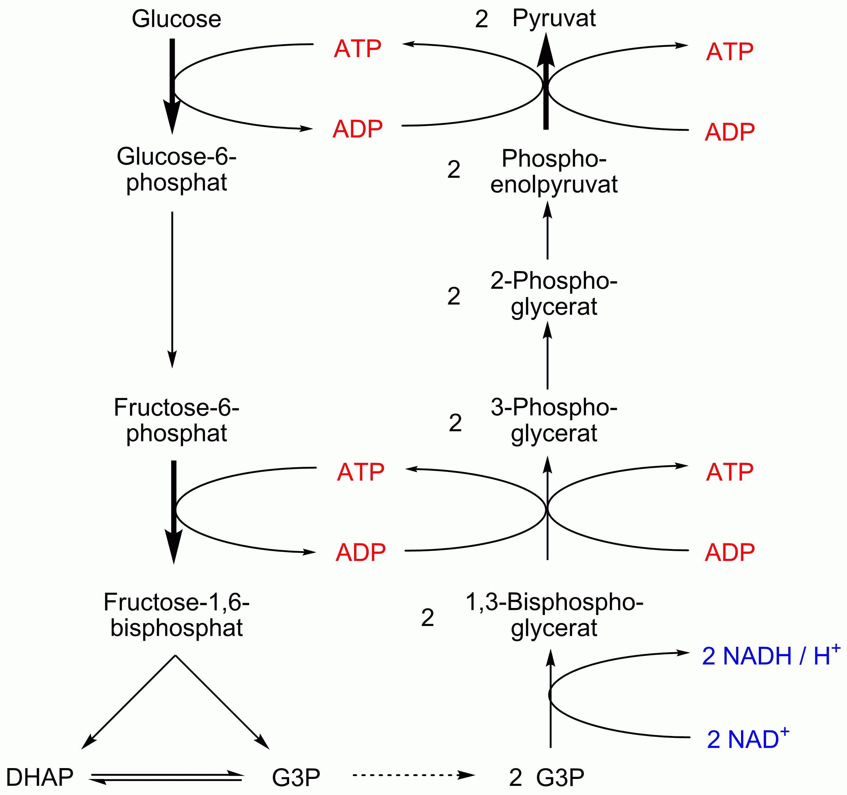 Reaktionsgleichung Alkoholische Gärung