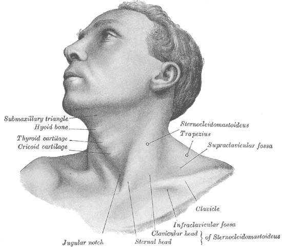 showing the chest and face, throat, top of rib-cage when the jugular notch of the sternum is located on the midline. A V shape in the bone at the base of the neck.