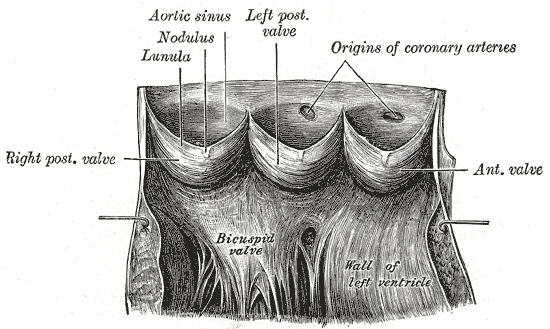 loading image for Aortic valve