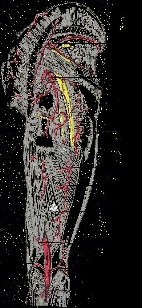 Arteria del nervio ciático - Wikiwand