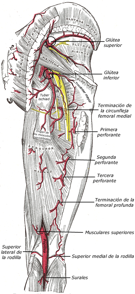 Arteria femoral profunda - Wikiwand