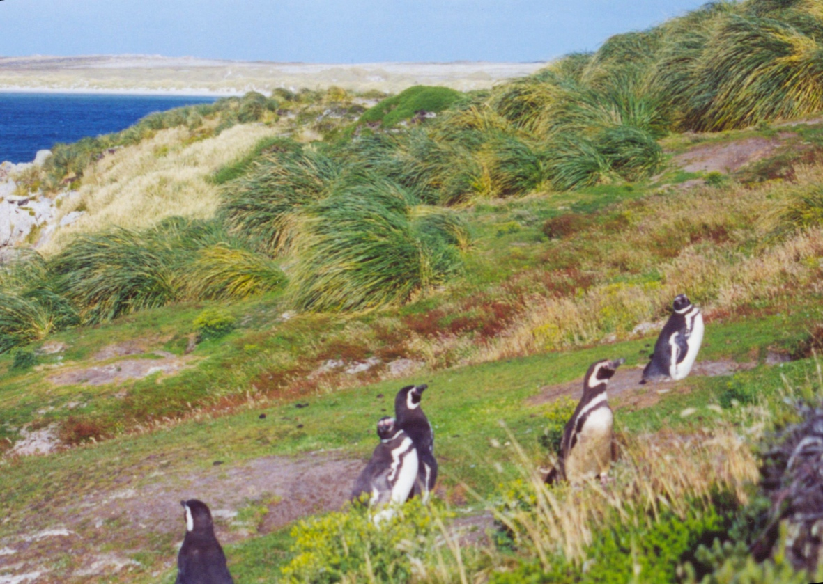 Five penguins walking up a grassy slope against the wind