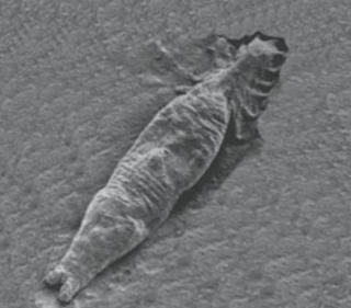 <i>Gyrodactylus salaris</i> species of worm