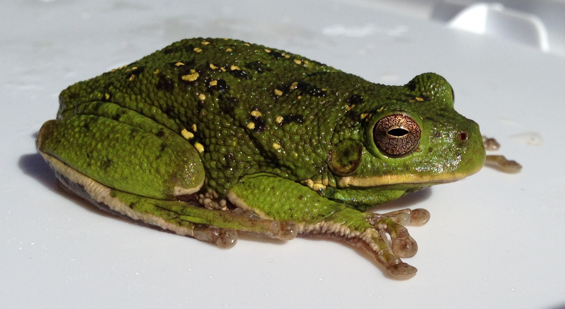 Barking Tree Frog (Dryophytes gratiosus)