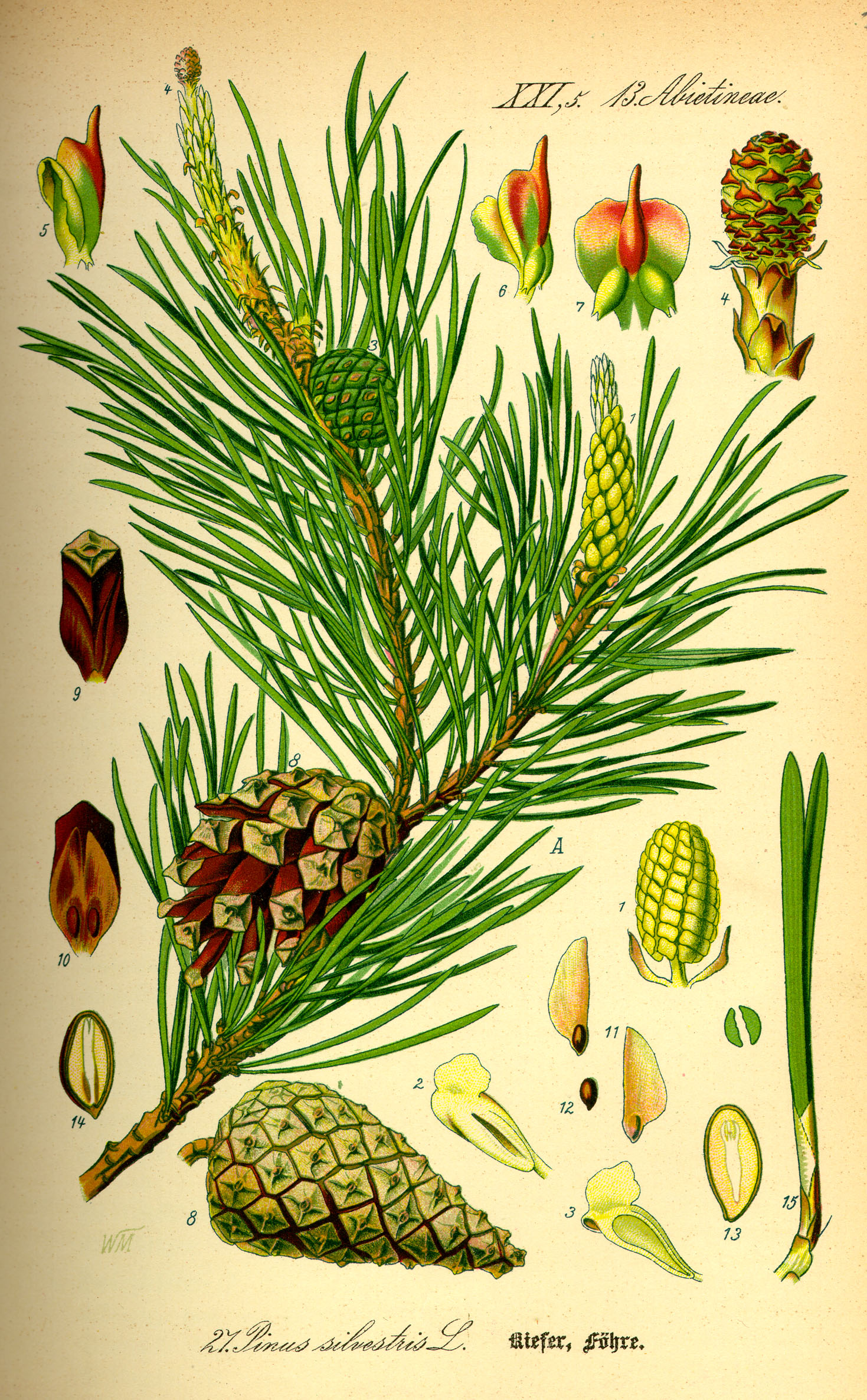 File:Illustration Pinus sylvestris0.jpg