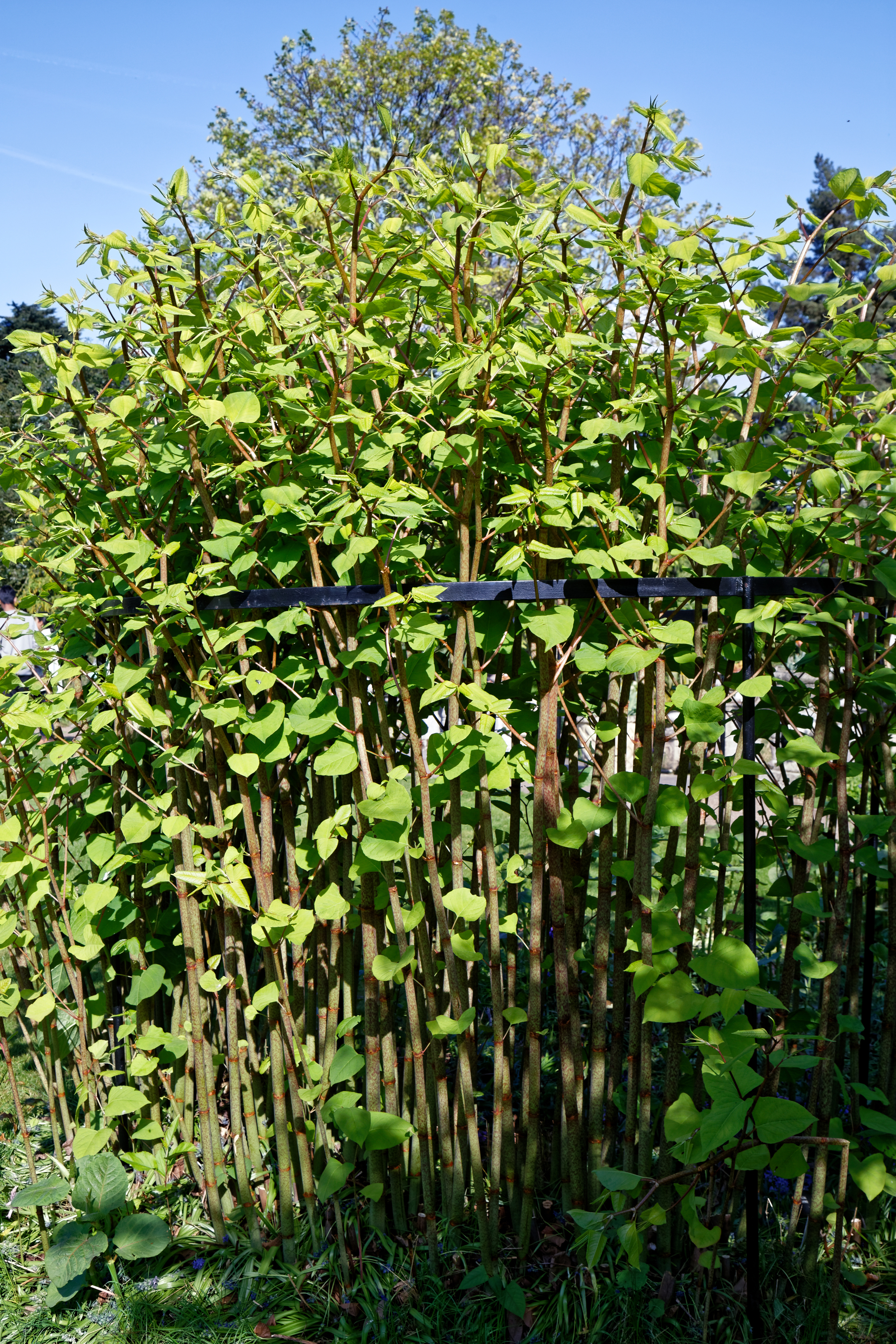 Japanese Knotweed In Your Garden: File:Japanese Knotweed Fallopia Japonica At Myddelton