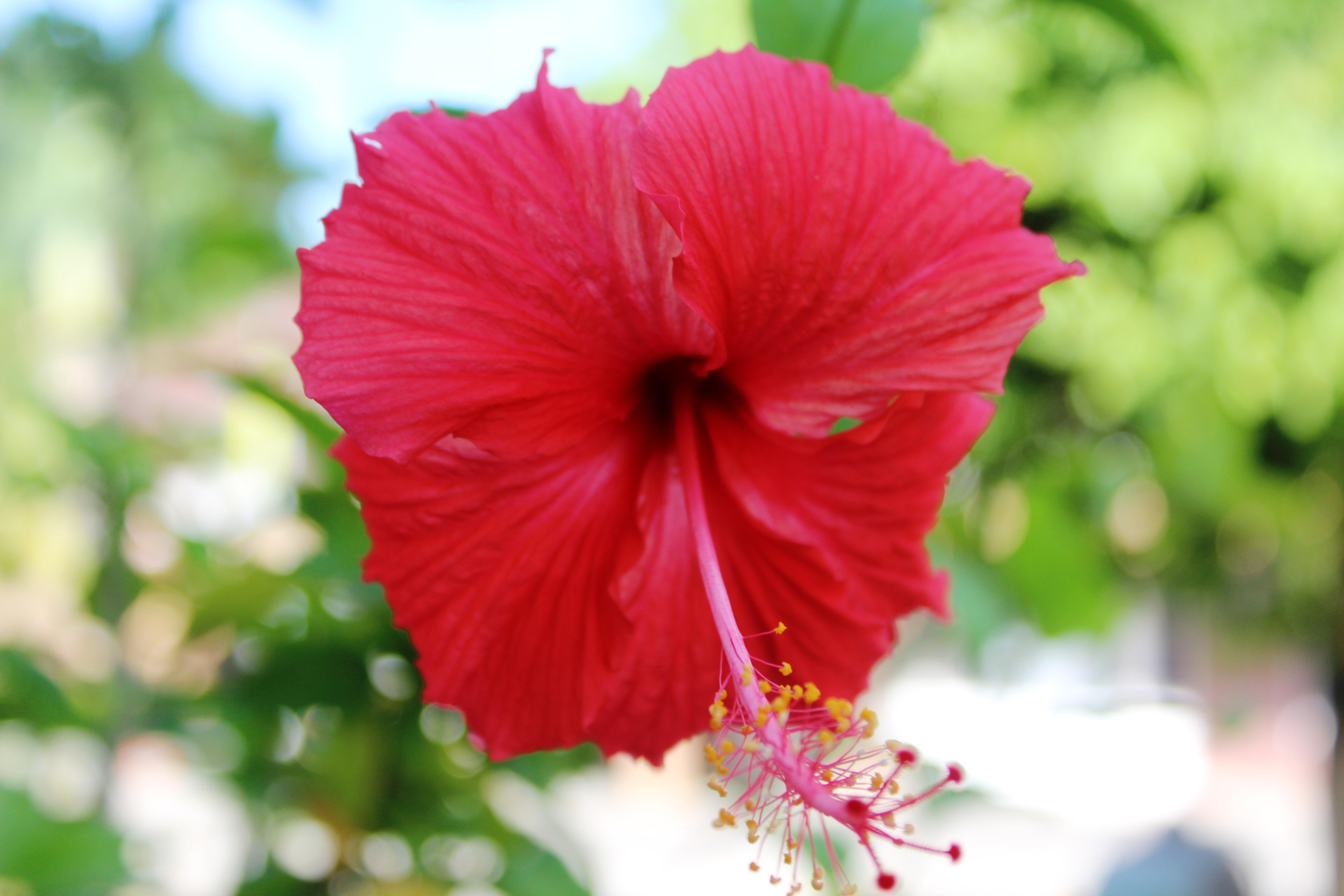 Filemalaysian national flowereg wikimedia commons filemalaysian national flowereg izmirmasajfo