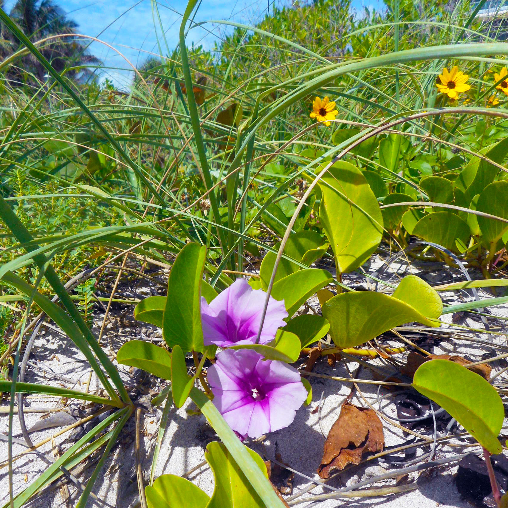 Filemiami Beach Sand Dune Flora Yellow And Purple Flowersg