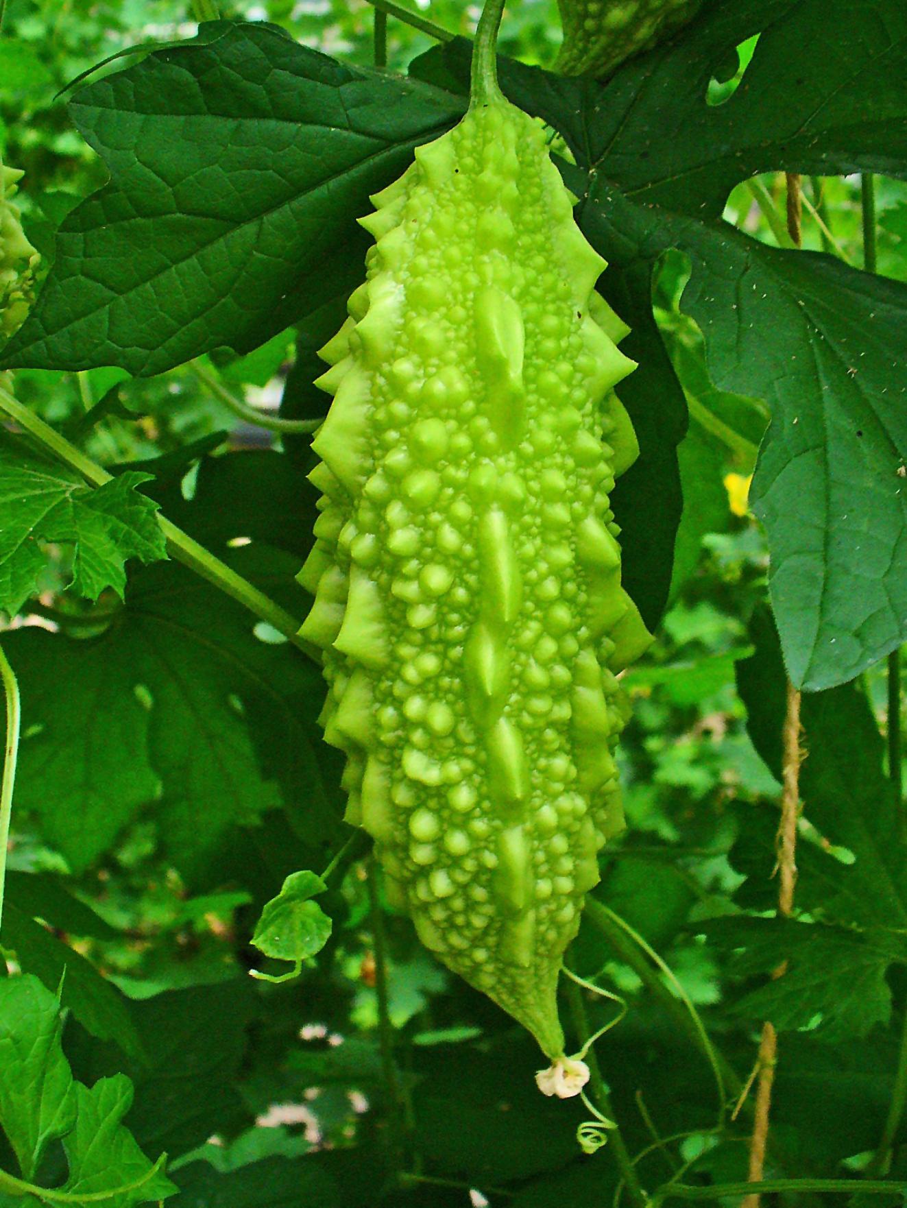 Момордика – красивая и целебная лиана