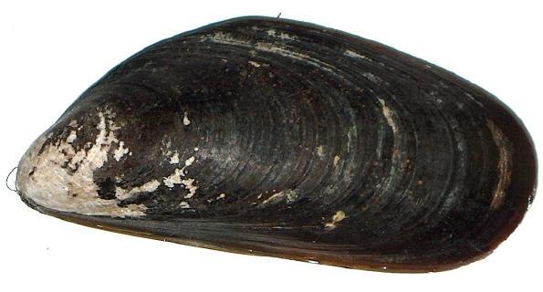 Mytilus chilensis - Wikipedia, la enciclopedia libre