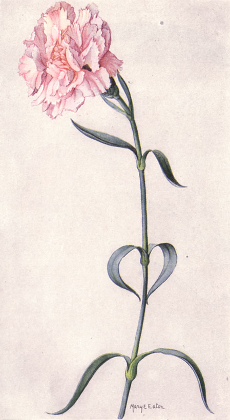 File Pink Carnation Ngm Xxxi P510 Jpg Wikimedia Commons