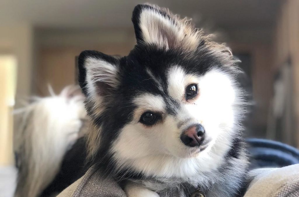husky and pomeranian mix dogs dog crossbreed wikipedia 9830