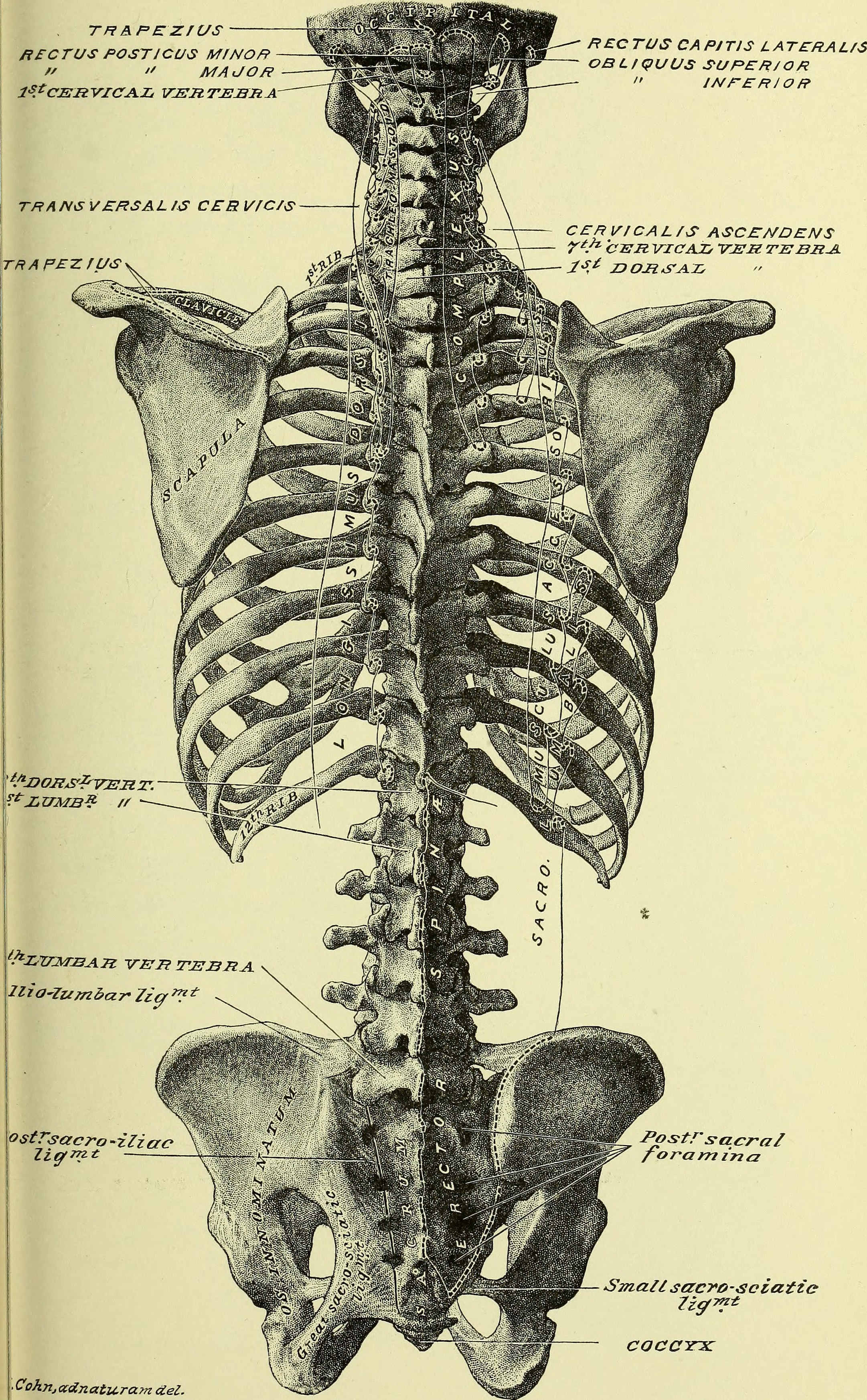 Illustration of a human spine and rib cage.