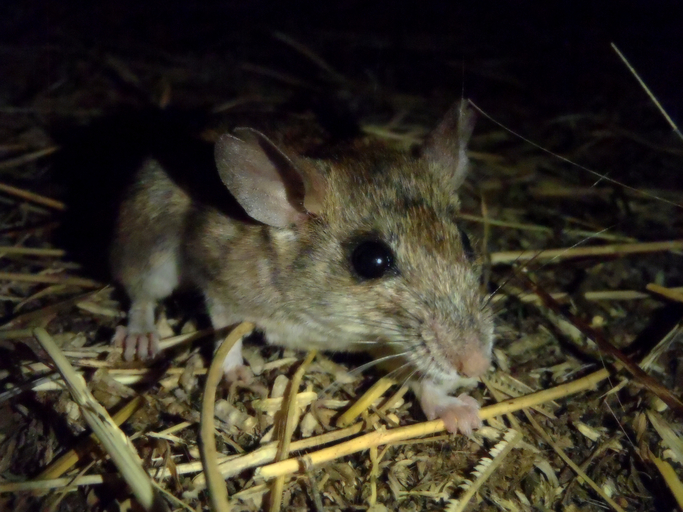 The average litter size of a Dalton's mouse is 5