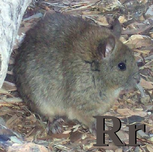 R is for Rat.jpg