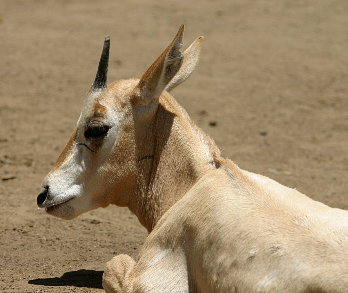 https://upload.wikimedia.org/wikipedia/commons/5/54/Scimitar-horned_Oryx.jpg