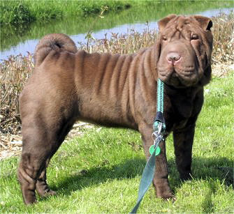 Shar Pei Fila Mix Dog Breed