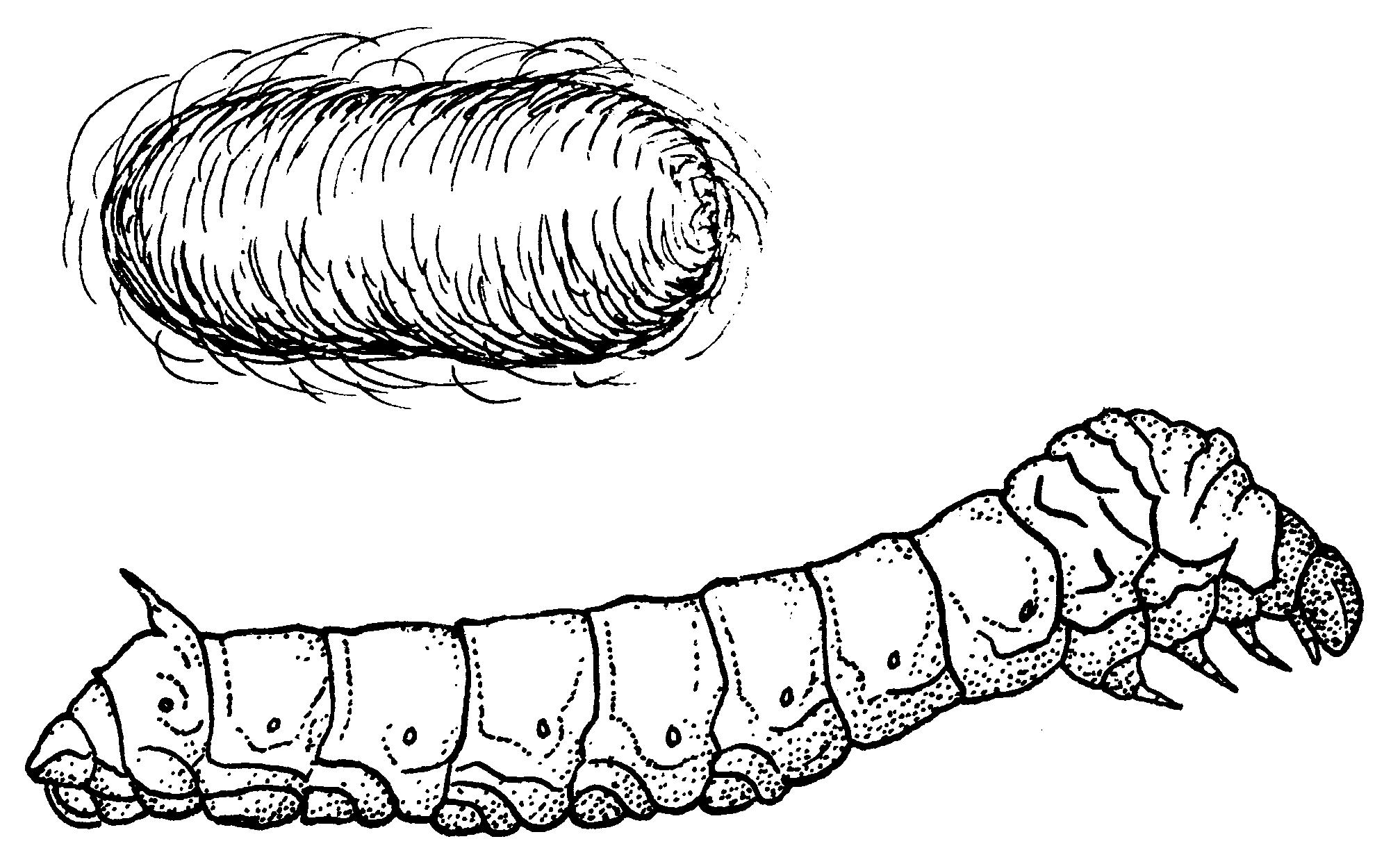Derspoultpertti download silkworm drawing silkworm drawing robcynllc Gallery