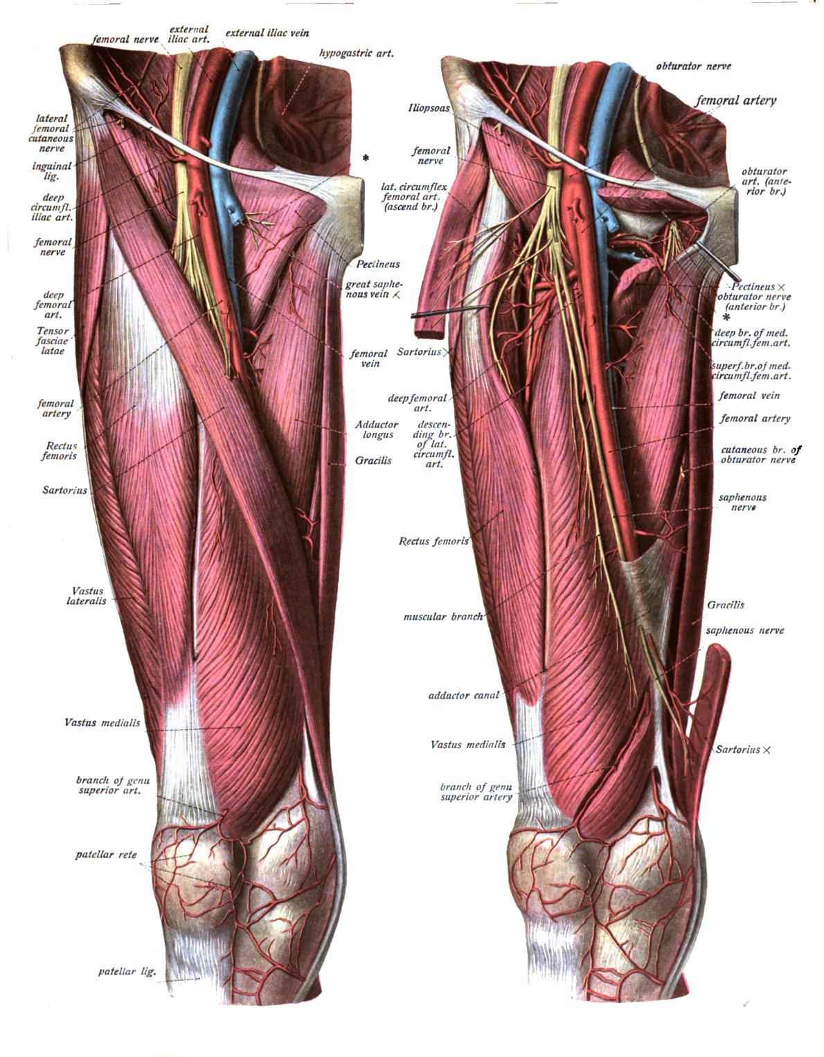 Femoral Artery Wikipedia