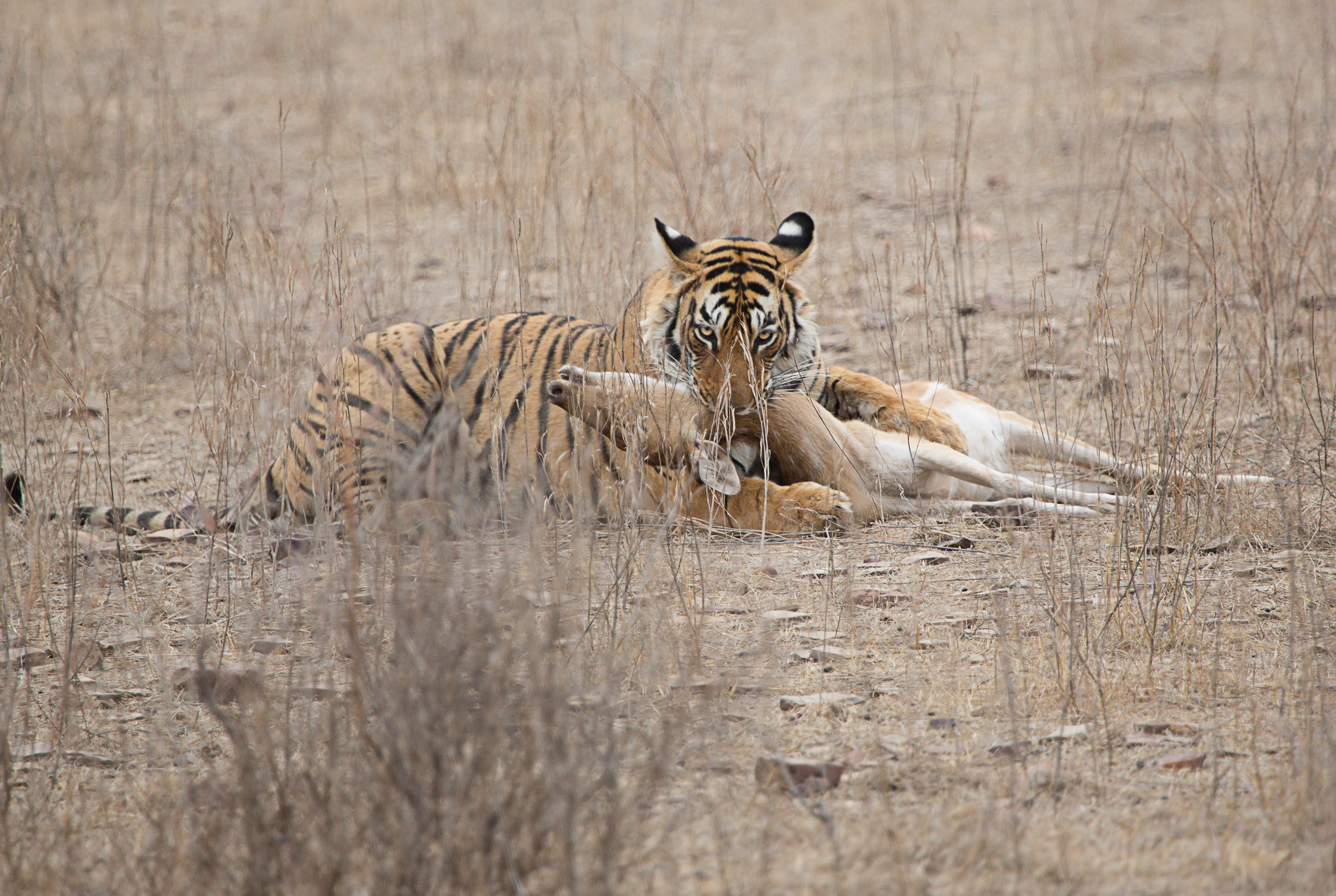 Tiger lying down in sparse ground with its teeth around the neck of a deer