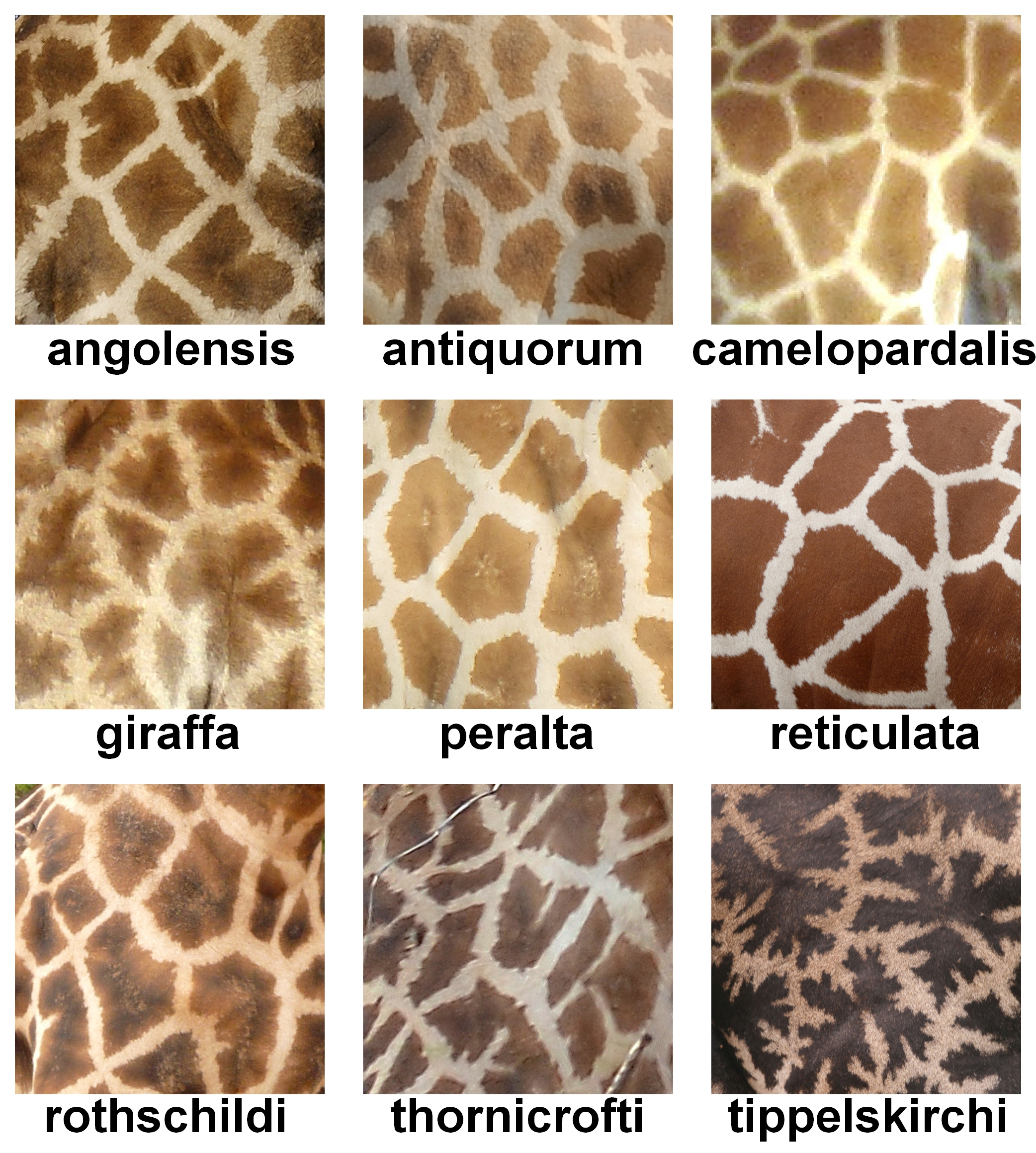 https://upload.wikimedia.org/wikipedia/commons/5/54/The_fur_pattern_of_all_nine_Giraffa_camelopardalis_subspecies.jpg