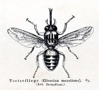 Tsetsemeyers1880.jpg
