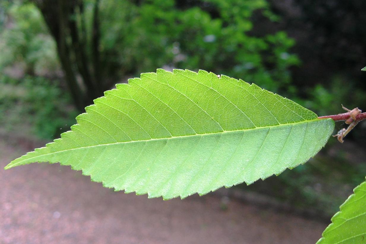 Botanische Tuin Kerkrade : File ulmus lamellosa botanische tuin kerkrade leaf g