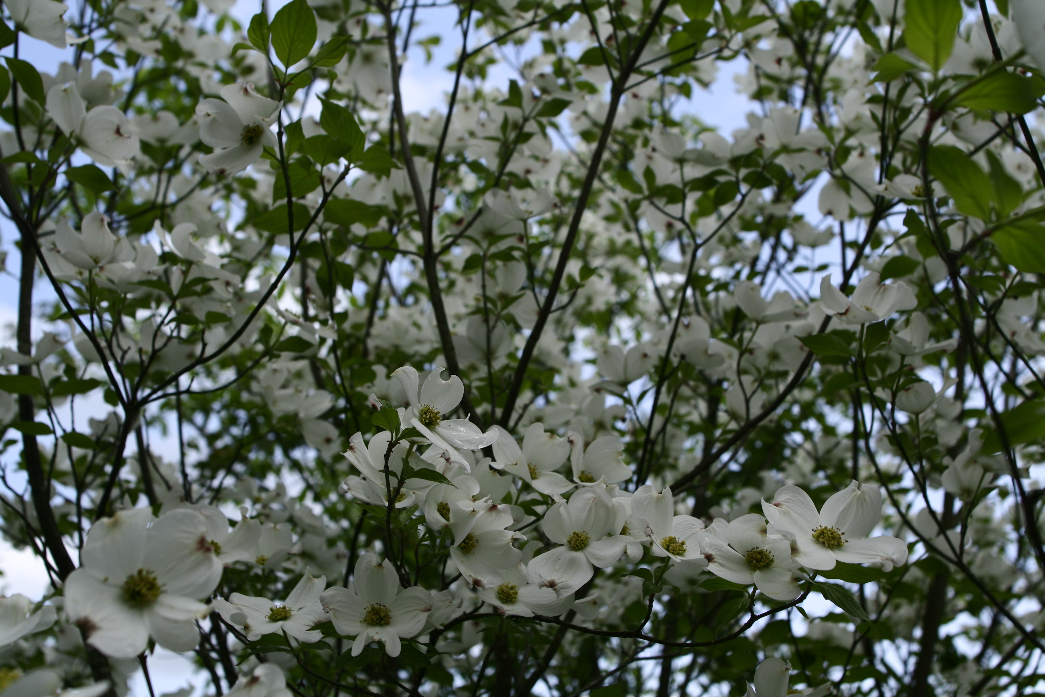Filewhite Tree Flowers West Virginia Forestwanderg