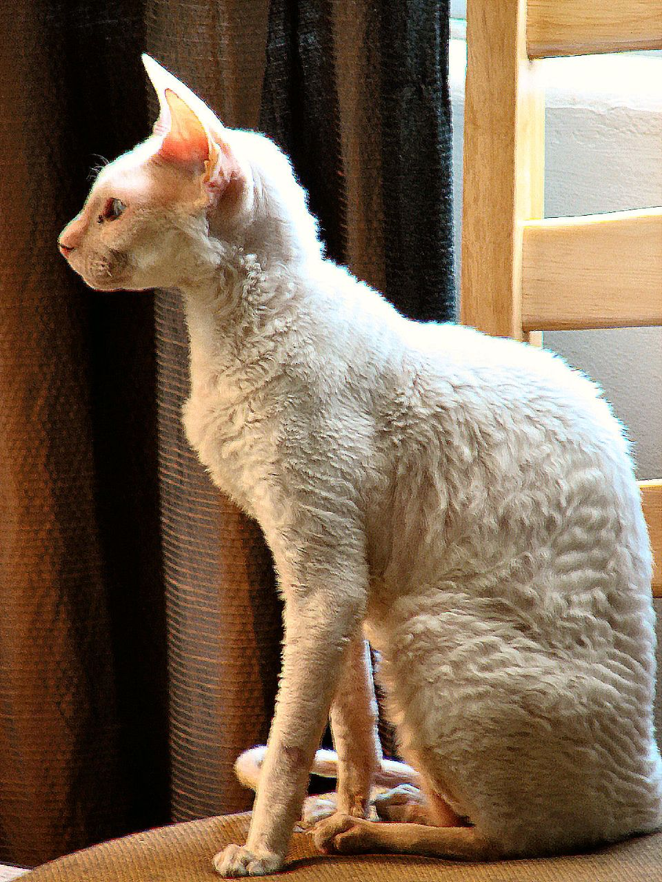 cornish rex katt