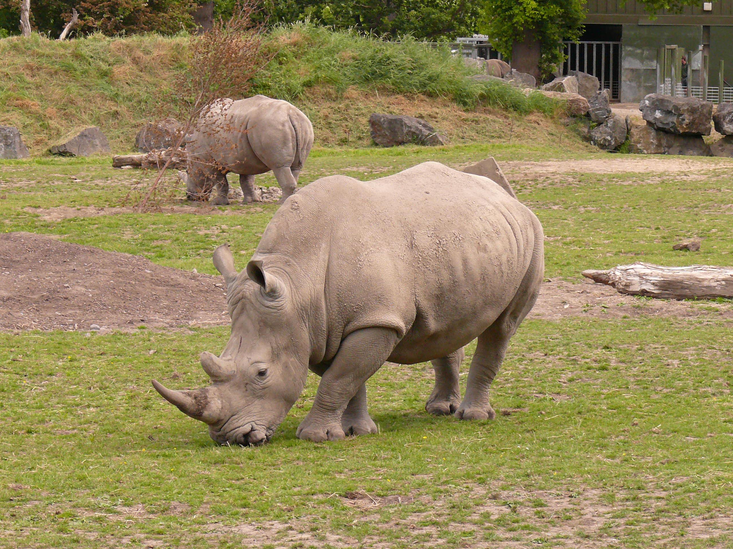 White rhino dublin zoo.jpg